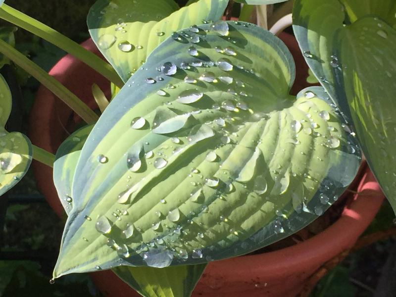 Funkie mit Regentropfen