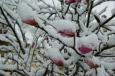 Bruno Hersche / Magnolien unter Schnee / Zum Vergrößern auf das Bild klicken
