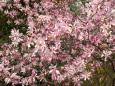 Bruno Hersche / Blühende Magnolie im Garten / Zum Vergrößern auf das Bild klicken