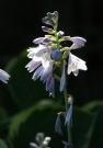 Blühende Funkie am Waldplatz / Zum Vergrößern auf das Bild klicken