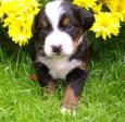 Bauchinger / Calvin - unser Berner Sennenhund / Zum Vergrößern auf das Bild klicken