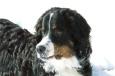 Bruno Hersche / Calvin im Schnee / Zum Vergrößern auf das Bild klicken