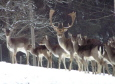 Damwild im Schnee im Lueggraben Sonntagberg