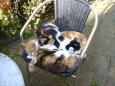 Drei Katzen auf dem Stuhl / Zum Vergrößern auf das Bild klicken