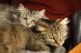 Bruno Hersche / Dunkle und graue Katze im Fauteuil / Zum Vergrößern auf das Bild klicken