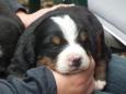 Bruno Hersche / Elfi und junger Berner Sennenhund / Zum Vergrößern auf das Bild klicken