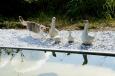 Junge Katze bei den Enten am Wasserbecken / Zum Vergrößern auf das Bild klicken