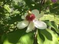 Bruno Hersche / Exklusive Magnolie aus dem Garten / Zum Vergrößern auf das Bild klicken