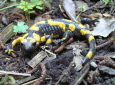Feuersalamander im Garten / Zum Vergrößern auf das Bild klicken