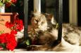 Bruno Hersche / Graue Katze vor Fenster / Zum Vergrößern auf das Bild klicken