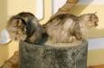Bruno Hersche / graue Katzen auf Blumentonne / Zum Vergrößern auf das Bild klicken
