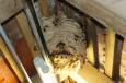 Bruno Hersche / hornissen-nest_140831_04_korr_gr8 / Zum Vergrößern auf das Bild klicken