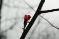 Japanische Quitte blüht im November / Zum Vergrößern auf das Bild klicken