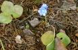 Leberblumchen an unserem Waldplatz am 31.12.06 / Zum Vergrößern auf das Bild klicken
