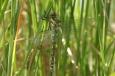 Libelle am Schilf im Seerosenteich / Zum Vergrößern auf das Bild klicken