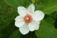 Bruno Hersche / Magnolienblüte / Zum Vergrößern auf das Bild klicken