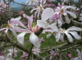 Magnolienstrauch am Sonntagberg / Zum Vergrößern auf das Bild klicken