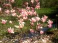 Bruno Hersche / Oleanderbaum in Blüte / Zum Vergrößern auf das Bild klicken