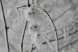 Raureif Schneeeule / Zum Vergrößern auf das Bild klicken