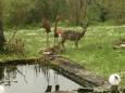 Bruno Hersche / Rehbock im Garten / Zum Vergrößern auf das Bild klicken