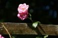 Rosa Heckenrose / Zum Vergrößern auf das Bild klicken