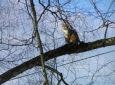 Rote Katze auf der Birke / Zum Vergrößern auf das Bild klicken
