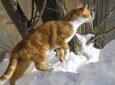 Rote Katze im Schnee / Zum Vergrößern auf das Bild klicken