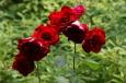 Rote Rosen vor der Küche / Zum Vergrößern auf das Bild klicken