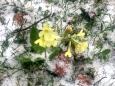 Schluesselbluemchen im Schnee