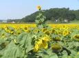 SonnenblumenfeldSt. Georgen am Ybbsfeld - eine herausragende / Zum Vergrößern auf das Bild klicken