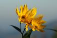 Bruno Hersche / Staudensonnenblume / Zum Vergrößern auf das Bild klicken